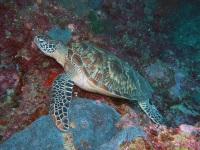 A Hawksbill Turtle off Sipadan © Jnpet
