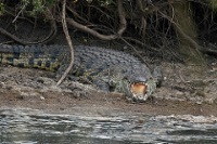 Nile Crocodile © Anita Ritenour