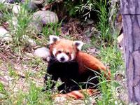Red Panda ©