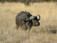 Buffalo are being reintroduced to the park © PaulRae