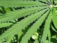 Cannabis Leaf © Robin