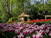 Keukenhof flowers in bloom © Targeman