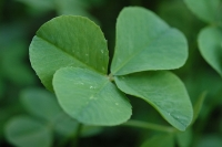 Irish four leaf clover  © Cygnus921