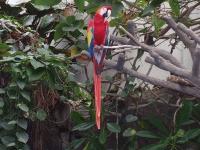 Scarlet Macaw at Oklahoma City Zoo © Janice Waltzer
