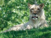 Lioness © AZAdam