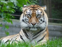 Tiger at Toronto Zoo © Roger Ahlbrand