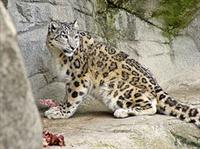 Snow Leopard © Tambako The Jaguar