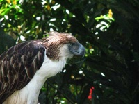 Philippine Eagle © Harrybalais