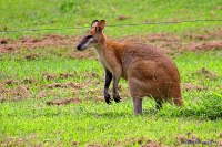 Red Necked Wallaby, Bowling Green Bay National Park © john skewes