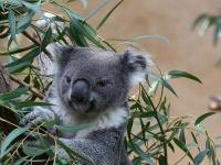 Koala © Rennett Stowe