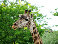 Giraffe at Roger Williams Zoo © Jude
