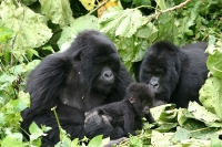 Gorillas in Rwanda at the Volcanoes National Park © Derek Keats