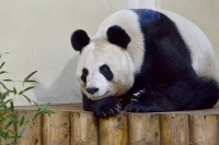 Giant Panda at Edinburgh Zoo © The Land