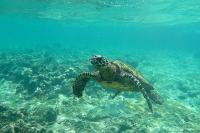 Sea Turtle, Seychelles © Stephane Enten