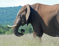 An Elephant in Addo Elephant National Park © Gouldingken
