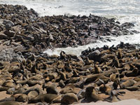 Cape Fur Seals © markos