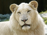 White Lion © Stano Novak