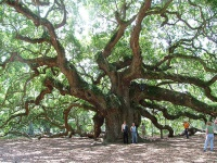 Angel Oak, Johns Island © Lil Rose