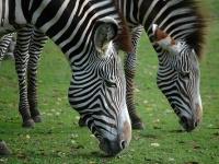 Zebra © mape_s