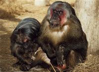 Monkey Town ©