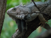 Iguana at St Maarten Zoo © Grant Hollingworth