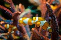 Clownfish © Eco Dalla Luna