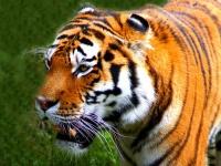 Tiger © law_keven