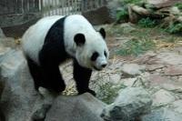 Giant Panda © Jeff Tollefson
