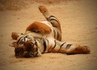 Tiger © Appie Verschoor