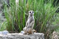 Meerkat © Greg Walters