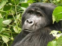 Mountain Gorilla © Martijn.Munneke