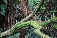 Sherbrooke Track, Dandenong Ranges National Park © Alpha