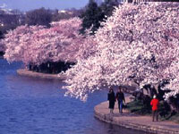 Cherry Blossoms ©