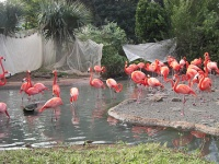 Flamingos at the Bermuda Aquarium