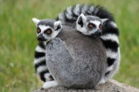 Lemurs at the Oakland Zoo