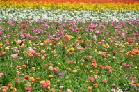 The Flower Fields at Carlsbad Ranch.