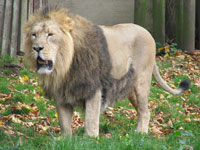 Lion at London Zoo