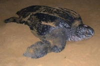 Leatherback Turtles in Pongara