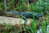 Alligator in the Okefenokee Swamp