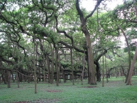 Great Banyan Tree