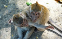 Balinese long-tailed macaques