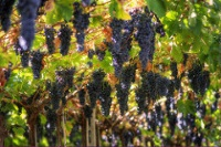 Grapes in Vapolicella