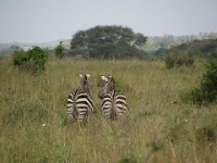 Zebra at Nairobi National Park