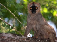 A Lemur in the Berenty Reserve