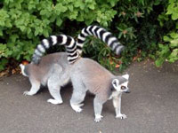 Ring Tailed Lemurs at the Belfast Zoo