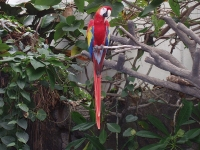 Scarlet Macaw at Oklahoma City Zoo