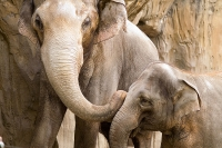 Asian Elephants at Oregon Zoo