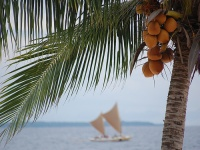 Coconuts on Bohol
