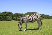 Zebra grazing in Cwebe