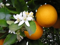 Oranges with blossoms